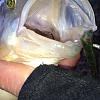 Barsche zuppeln von Fishpiercer